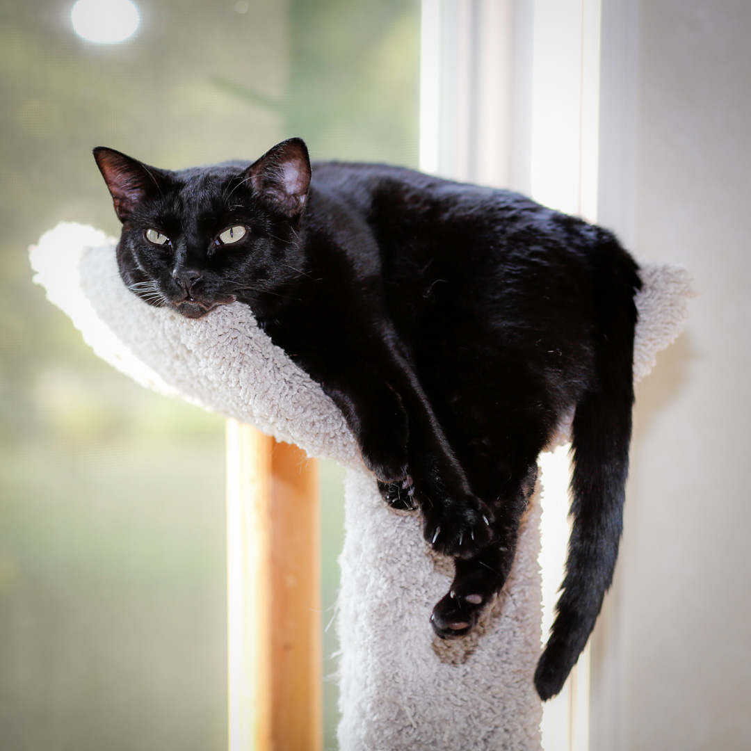 Lazy Black Cat